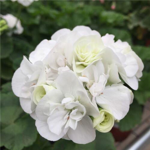 10pcs Rare Géranium neige Ivy Feuille Géranium #P10