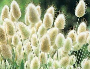 Bunny Tails Ornamental Grass Landscaping grass bunny tails lagurus ovatus 150 seeds ornamental image is loading landscaping grass bunny tails lagurus ovatus 150 seeds workwithnaturefo