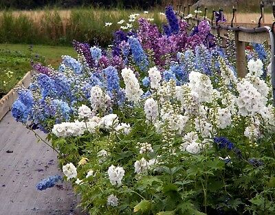 100 GIANT IMPERIAL DELPHINIUM ROCKET LARKSPUR MIX Seeds