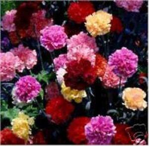 image is loading 50 multi color mix carnation flower seeds perennial - Carnation Flower Colors