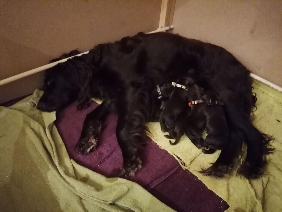 Labrador og springerspanier, hvalpe, 3 uger