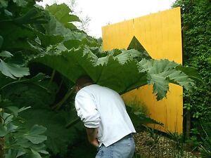 Gunnera-manicata-winterhartes-Mammutblatt-bis-1-8m-4-jaehrige-Pflanze