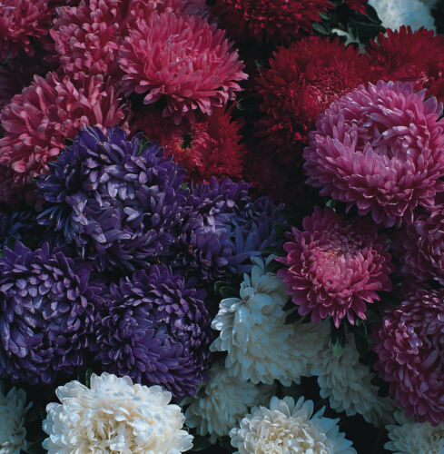 Annual Aster Milady Mixed 200 seeds