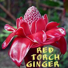 ~RED TORCH GINGER~ Exotic Etlingera elatior LIVE xsml 2-4in pot'd starter PLANT