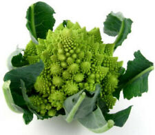 1.1g ORGANIC Romanesco Broccoli Seeds ~250 ct ~Beautiful Spiraling Florets USA