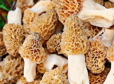 10 gr Common Morel - Morchella esculenta Seeds Mycelium +engl manual