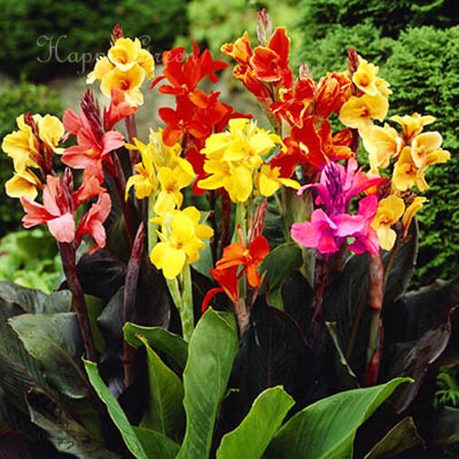CANNA INDICA - 8 SEEDS - MIXED COLOURS - Indian shot - Tropical - UP to 6,5 FT!
