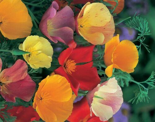 CALIFORNIAN POPPY MIX Escholtzia californica 500g 400,000 FRESH  SEEDS FLOWER