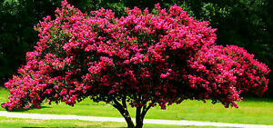20 Seeds Chinese Crepe Myrtle,Lagerstroemia Indica,Bonsai Suitable
