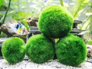 Giant Marimo Moss Balls (1.5-2 inch)
