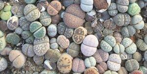 100pc-Mixed-Lithops-Seedlings-Lovely-Living-Stones-Plants-0-8-1cm
