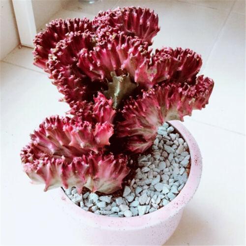 Succulent Cactus Live Plant Euphorbia Neriifolia Var.cristata 10cm Rare Plant