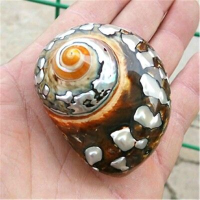 Grün Natürliche Muschel Muschelschale Meeresschnecke Sea Shell Aquarium Dekor es