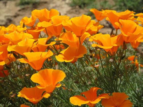 CALIFORNIA CHAM Semi di Papavero Colori Arancione//Giallo circa .600 semi per grammo