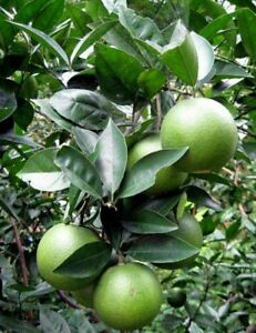 Green-Orange-Fruit-Seeds-Citrus-Sinensis-Sweet-orange-for-drinking-new-10-seeds