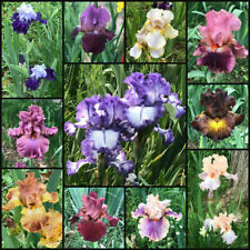CHOOSE YOU LOT SIZE FRESH SPROUTED MIXED BEARDED IRIS RHIZOME BULBS