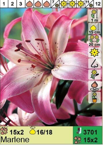 "◕‿◕ @//// \\@ LILIEN : Lilium asiatic Lilie /"" Marlene /"""