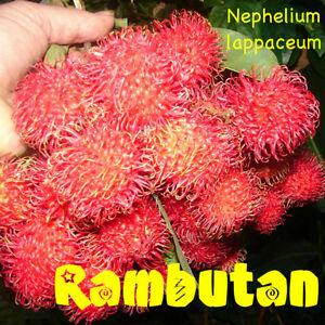 nephelium lappaceum l essay Nephelium lappaceum l prota4u record display: prota4u homepage select translation pop-up: nephelium lappaceum l protologue [ edit] show more (7) show.