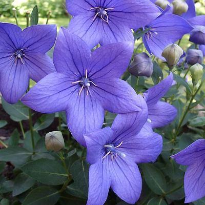 Baloon Flower Platycodon Perennial 18'' deep blue 100 seeds