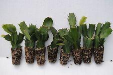 "Set #1 Christmas Cactus Starter Plants ""8 Named Varieties"" *8 Different Colors*"