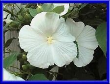 Beautiful White Hardy Hibiscus! 10 Seeds!  COMB S/H! SEE OUR STORE!