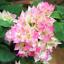 100Pcs-Bougainvillea-Flower-Seeds-Rare-Colorful-Bonsai-Pereninal-Garden thumbnail 3