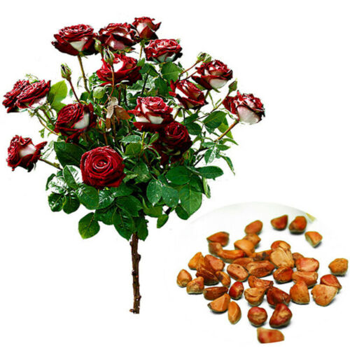 20Pcs Rare Seed Osiria Rose Ruby Rose Flower Seeds Red W K1Q6 Plants With W4J5