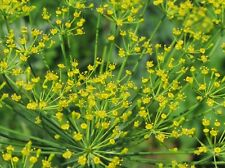 DILL 400 Seeds  bouquet Buy 2 orders get 1 FREE heirloom, ORGANIC Florida  #34