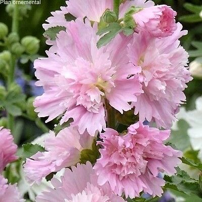 Light Pink Spring Celebrities Hollyhock 15 Seeds -BLOOMS 1ST YEAR!  Comb S/H!