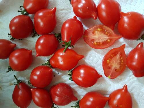 rosso inverno tomate piccolo lunga immagazzinabile Pomodoro exellenter gusto Pentola