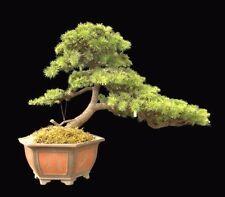 CEDRUS DEODARA - HIMALAYAN CEDAR - 15 seeds Bonsai tree Deodar fast & esay grow