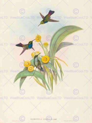 JOHN GOULD HC RICHTER BRITISH BLUE BREASTED HUMMINGBIRD ZOOLOGY PRINT BB5884B