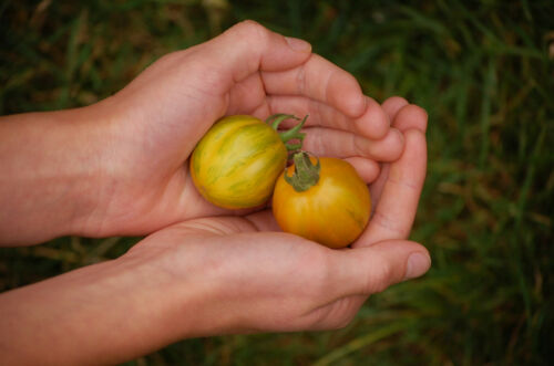 30 seeds Details about  /Green Zebra Tomato