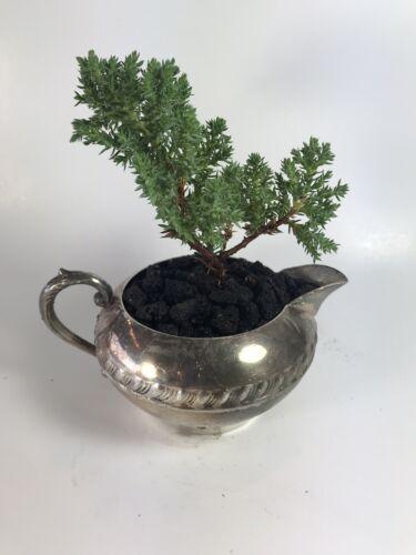 Bonsai Tree In Decorative Pot Juniper Procumbens Nana Live Plant Great Gift