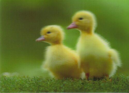 zwei niedliche Entenküken two ducklings D Ansichtskarte 3