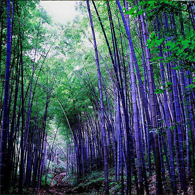 100pcs Purple Bamboo Seeds Flower Tree Seed Home Potted Ornamental Garden Decor