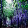 100 Pcs Viable Seeds RARE Purple Bamboo Timor Bambusa Lako