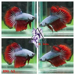 [180_A3]Live Betta Fish High Quality Male Fancy Over Halfmoon 📸Video Included📸