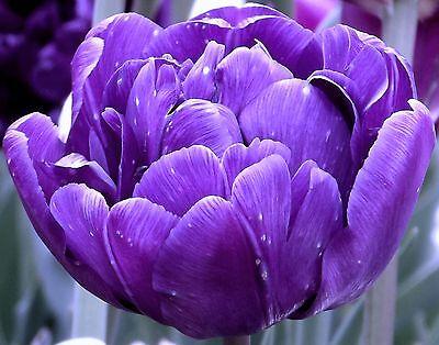 "Gefüllte Tulpe "" Blue Diamond "" (5)"