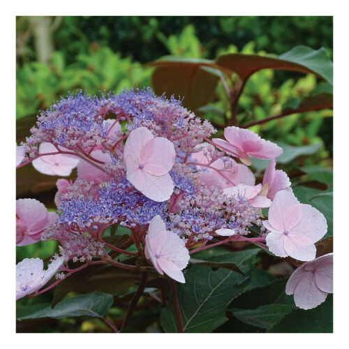 Hydrangea aspera Hot Chocolate-Rough Leaved Hydrangea Plant in 3.5 /'/' Pot
