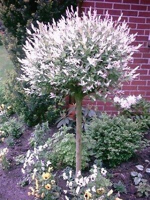 Harlekin Weide, Höhe: 180-190 cm, Salix Hakuro Nishiki, Pflanze, Stämmchen
