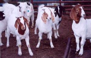 Capra-Sollevamento-Fattoria-Bestiame-CD-CAPRE-latte-25-LIBRI-ALLEVAMENTO-CARNE-Doe