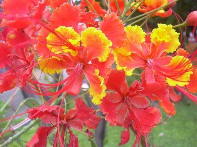Caesalpinia pulcherrima, Pfauenstrauch, Pride of Barbados, 100 Samen