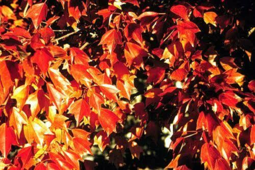 TRIDENT MAPLE SEEDS ACER BUERGERIANUM TREE COLOURFUL FOLIAGE