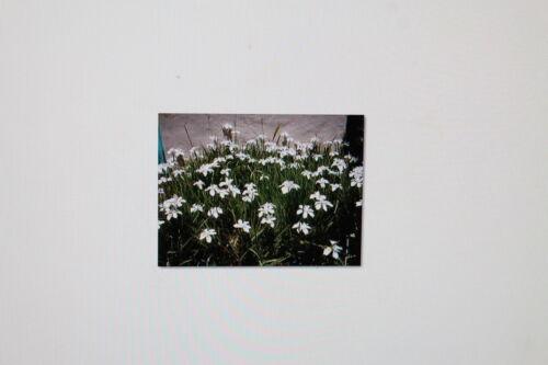 2 x 10 Graines Dietes grandiflora # 100 africaine Iris