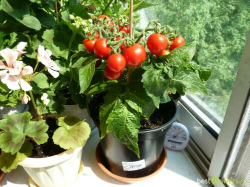 Seeds Tomato Bonsai Balcony Indoor Self-pollinating Vegetable Organic Non GMO
