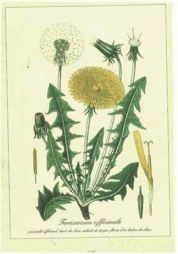 Ancienne Planche art print poster Botanique d/'après Gaston Bonnier Pissenlit