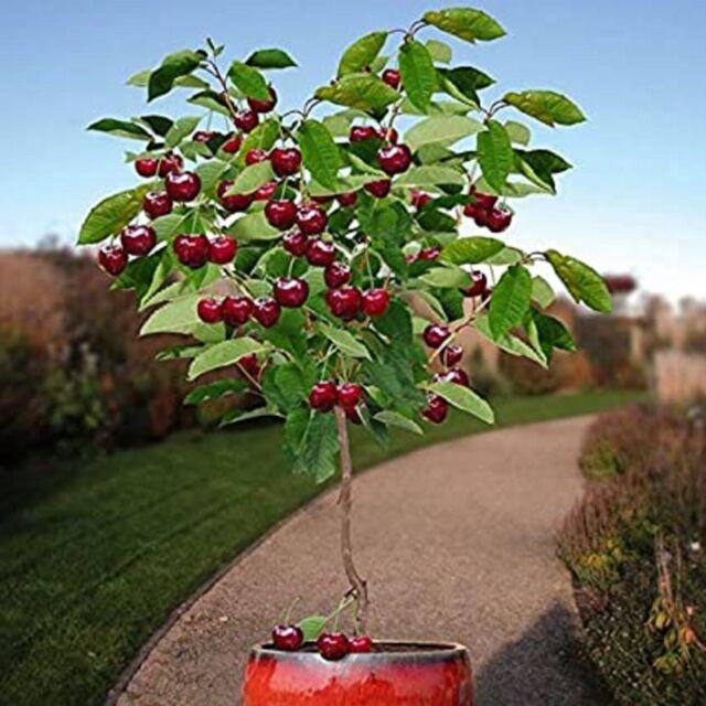 10 Seeds Dwarf Cherry Tree Self-Fertile Fruit Tree Indoor/Outdoor Brand