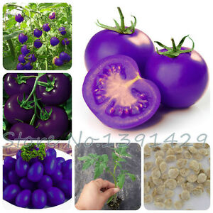 Purple-sacred-fruit-tomato-seeds-vegetables-and-fruits-seed-100-pcs-packing
