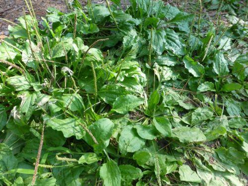 Plantago major ✤ 200 Seeds Common Plantain